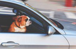 Bulldog i en bil
